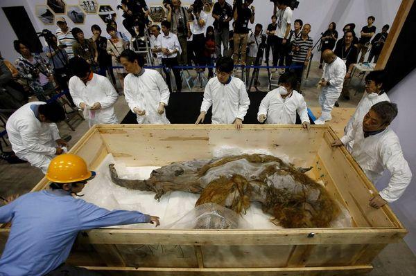 Юка: 40 000-летняя мумия мамонта