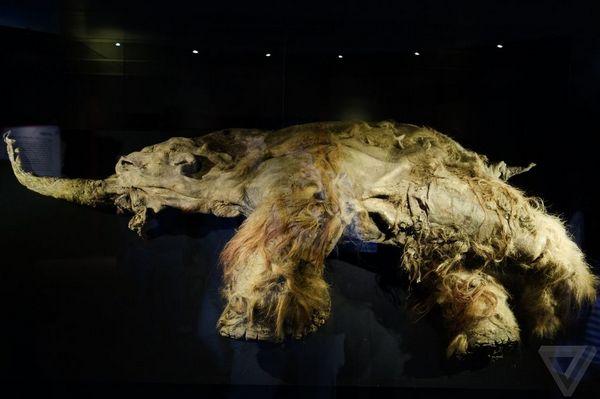 yuka-40-000-letnyaya-mumiya-mamonta-2