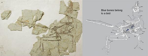 О чем рассказали останки динозавра с птицей внутри